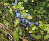 Blackthorn Sloes