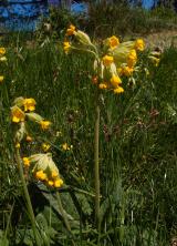Cowslip...Primula veris