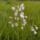 Cuckoo Flower or'Lady's smock'......Cardamine pratensis