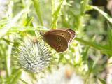 Ringlet... Aphantopus hyperantus