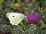 Large white  .....   Pieris brassicae
